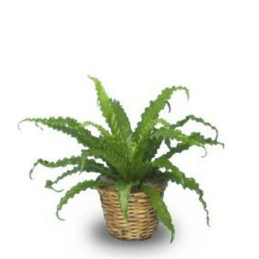 Bird\'s Nest Fern