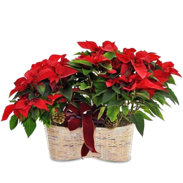 Poinsettia Double