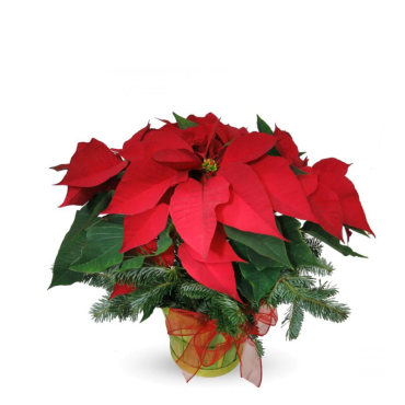 Radiant Poinsettia